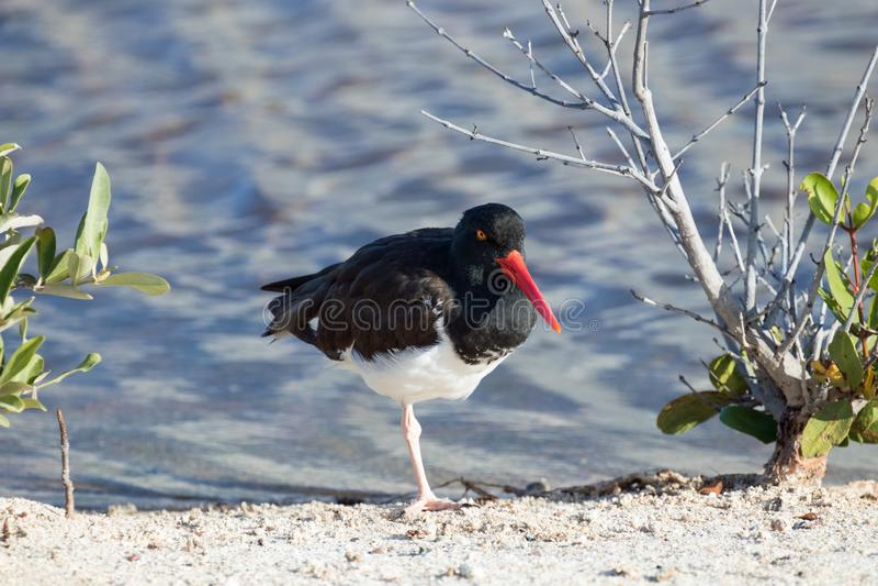 Galapagos-Inseln wild lebende Tiere und Austern-Fänger-Vögel stockfotos
