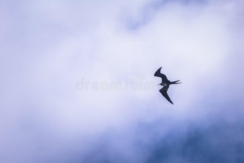 Galapagos Islands - August 24, 2017: Bird flying over Plaza Sur island, Galapagos Islands, Ecuador stock photography