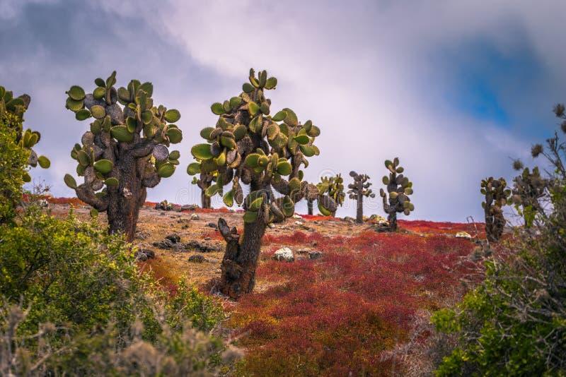 Galapagos Islands - August 24, 2017: Endemic cactus trees in Plaza Sur island, Galapagos Islands, Ecuador stock photos