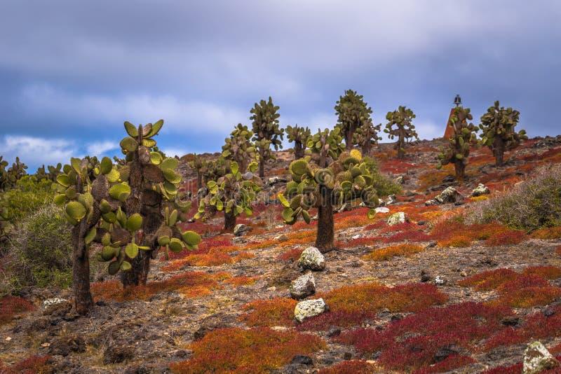Galapagos Islands - August 24, 2017: Endemic cactus trees in Plaza Sur island, Galapagos Islands, Ecuador stock image