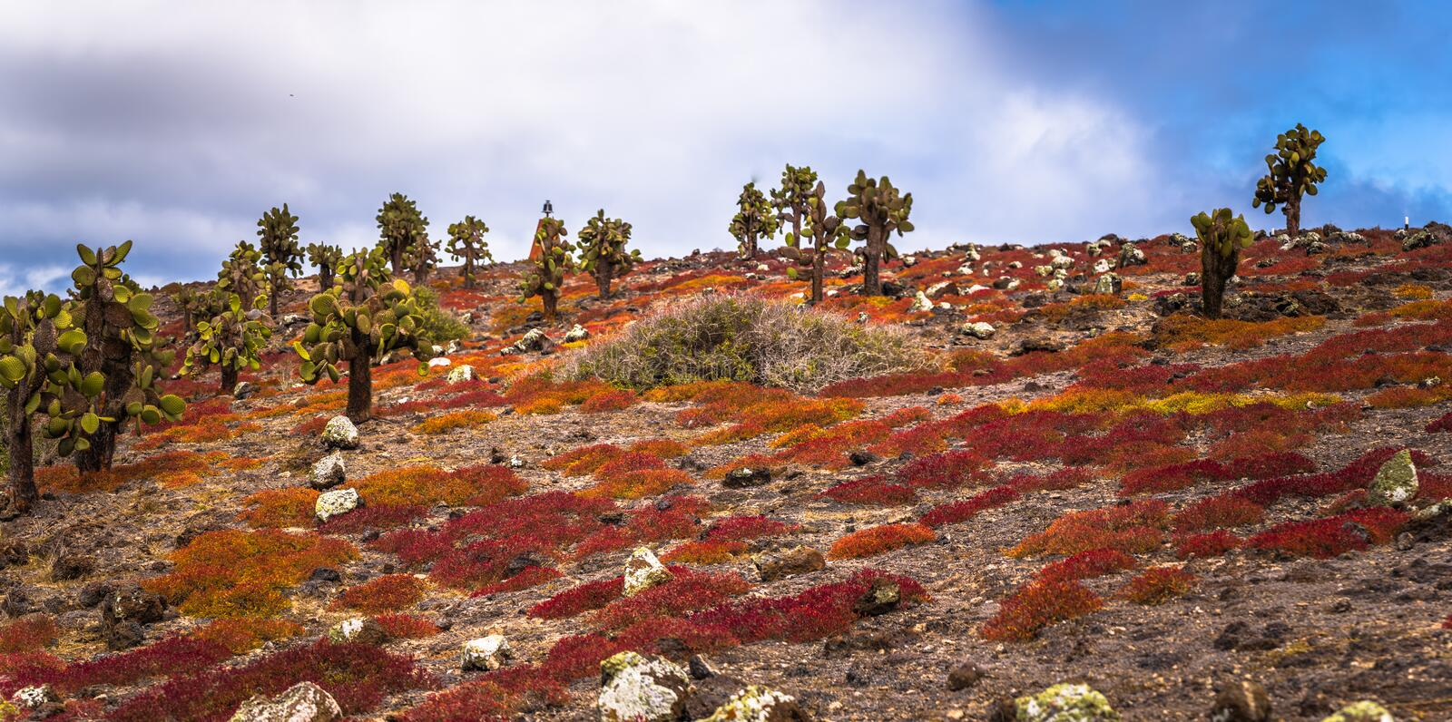 Galapagos Islands - August 24, 2017: Endemic cactus trees in Plaza Sur island, Galapagos Islands, Ecuador royalty free stock photo