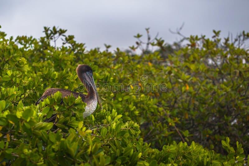 Galapagos Islands - August 24, 2017: Pelican bird relaxing in Puerto Ayora in Santa Cruz island, Galapagos Islands, Ecuador stock photography