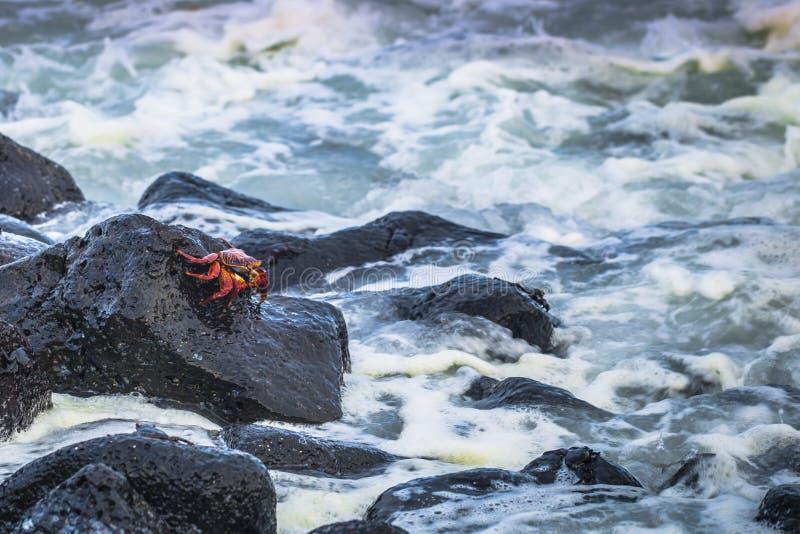 Galapagos Islands - August 25, 2017: Red Sally Lightfoot crabs n the beach of Isabela Island, Galapagos Islands, Ecuador stock photo