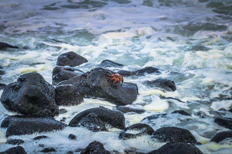 Galapagos Islands - August 25, 2017: Red Sally Lightfoot crabs n the beach of Isabela Island, Galapagos Islands, Ecuador stock photography