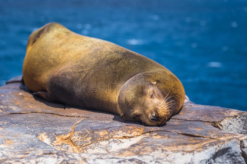 Galapagos Islands - August 24, 2017: Sealion sleeping in Plaza Sur island, Galapagos Islands, Ecuador royalty free stock photos