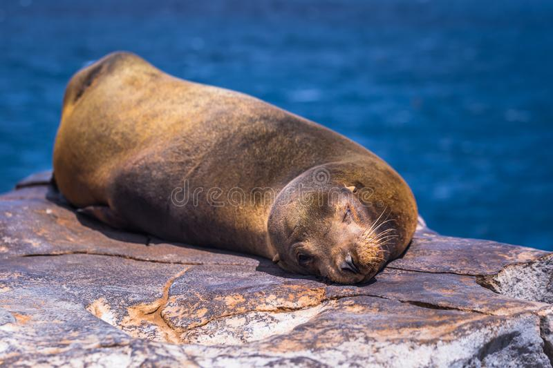 Galapagos Islands - August 24, 2017: Sealion sleeping in Plaza Sur island, Galapagos Islands, Ecuador royalty free stock photo