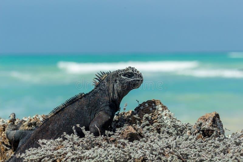 Galapagos Islands iguana die op een zonnige dag de turkooizen in zee ziet stock foto's