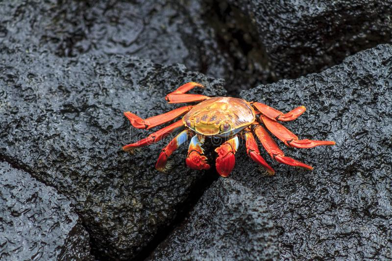 Galapagos-Krabbenstellung in einem schwarzen Felsen lizenzfreie stockfotografie