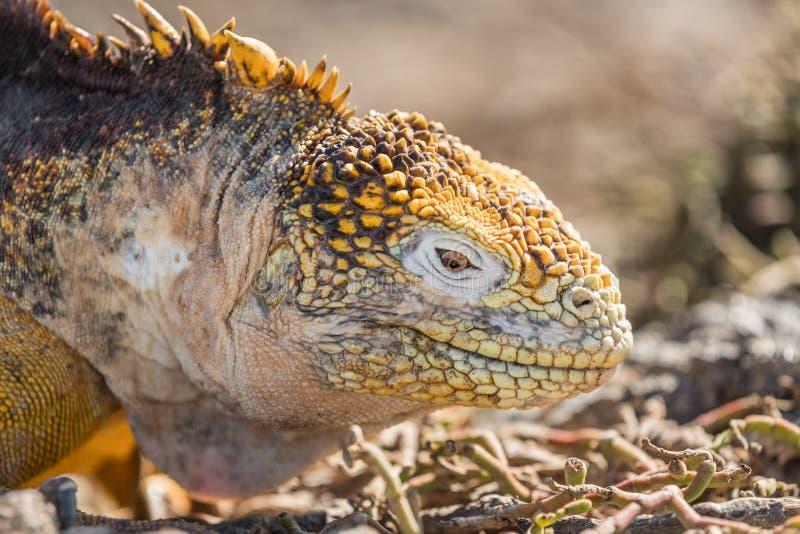 Galapagos Lądują iguany - kolor żółty gruntowa iguana na Północnym Seymour, Galapagos wyspy obraz stock