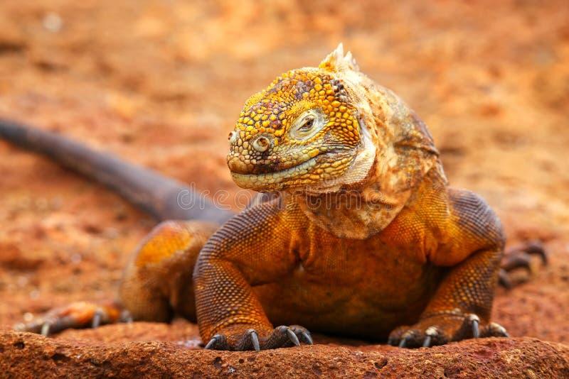 Galapagos Lądują iguany na Północnej Seymour wyspie, Galapagos Nationa obrazy royalty free