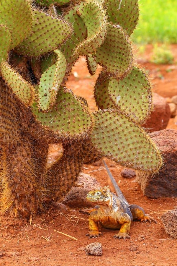 Galapagos Lądują iguany obsiadanie pod kaktusem na Północnym Seymour isla obraz royalty free