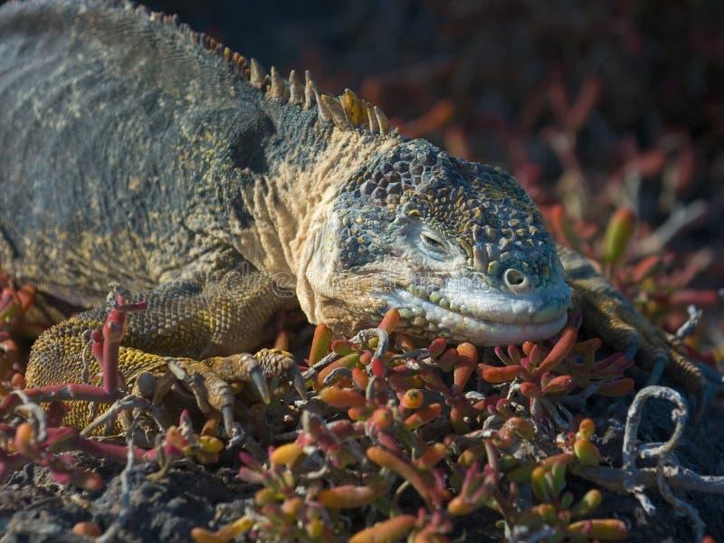 Galapagos Land Iguana Royalty Free Stock Photography