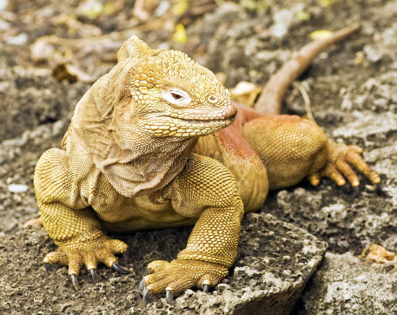 Galapagos-Land-Leguan stockfotografie