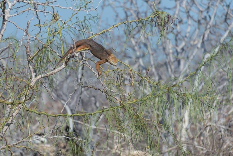 Galapagos-Land-Leguan, der auf Baum, Nord-Seymour, Galapagos-Inseln, Ecuador, Südamerika klettert und isst stockfotografie