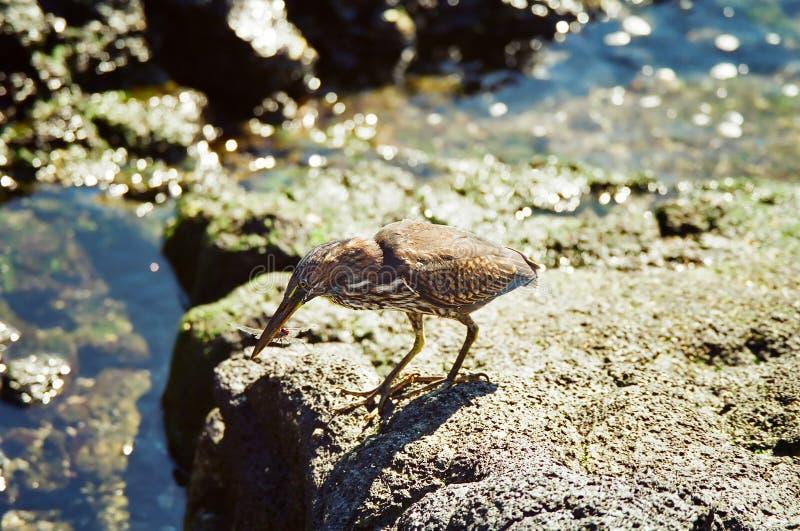 Download Galapagos Lava Heron stock photo. Image of marine, bird - 15483568