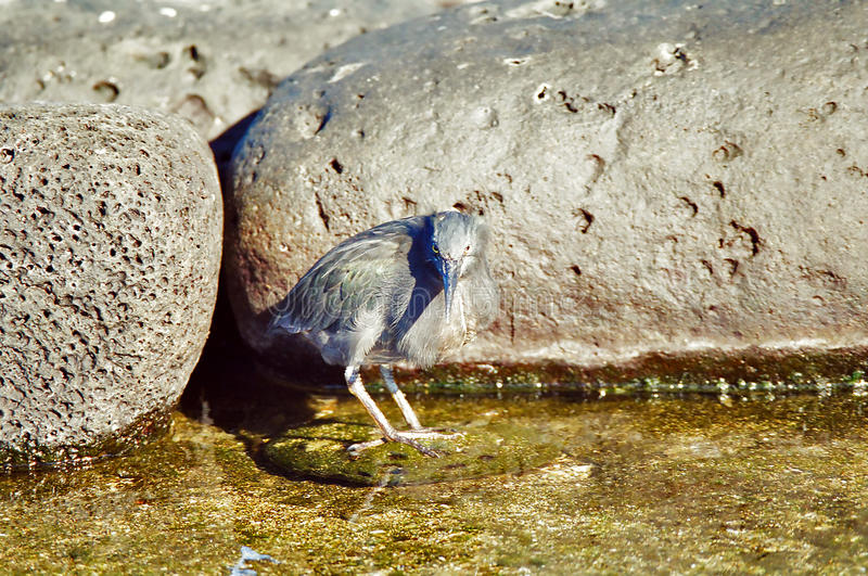 Galapagos Lava Heron stock image