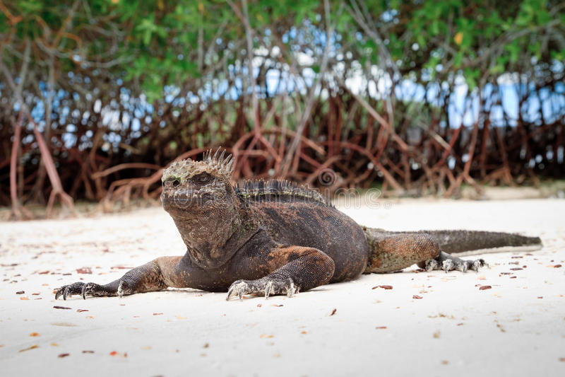 Galapagos leguan på stranden royaltyfri foto