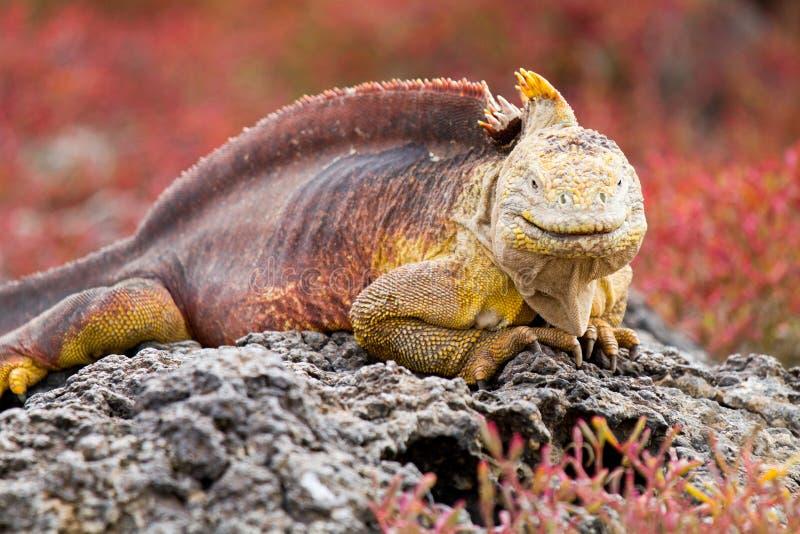 galapagos leguanland arkivbilder