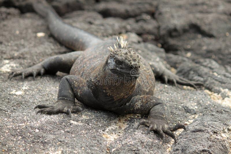 Galapagos Marine Iguana auf schwarzem Lava Rock lizenzfreie stockfotografie