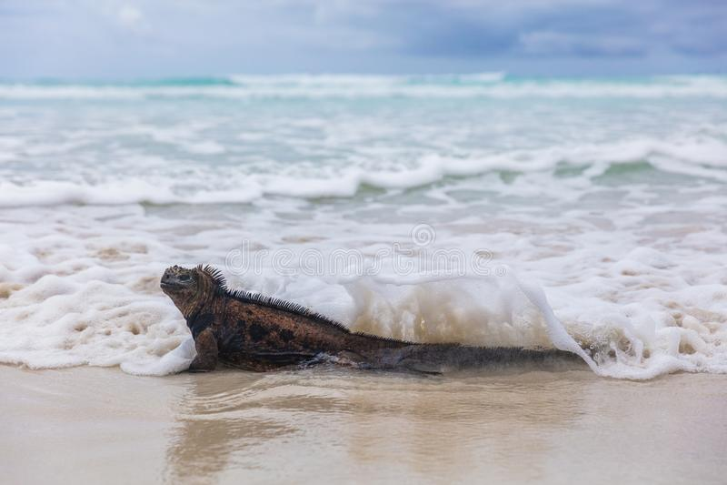 Galapagos Marine Iguana die op Tortuga-baaistrand de lopen - Leguanen Santa Cruz Island stock foto's