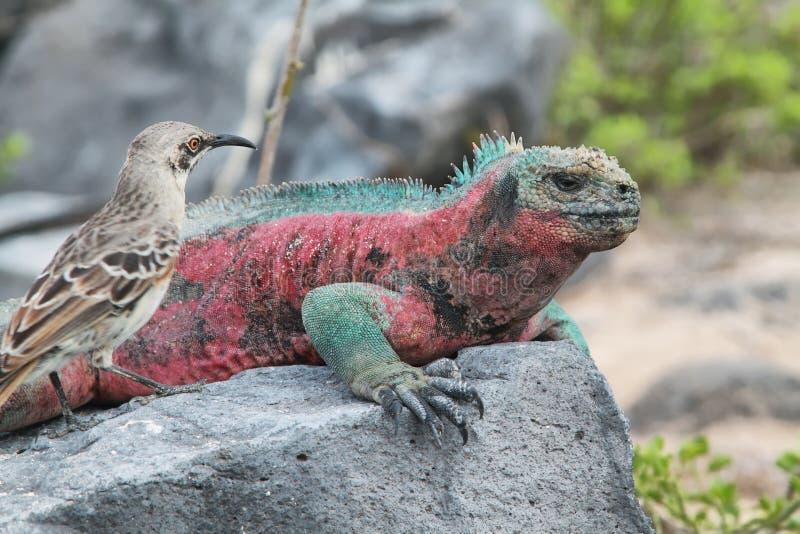Galapagos Marine Iguana som vilar på, vaggar royaltyfri foto