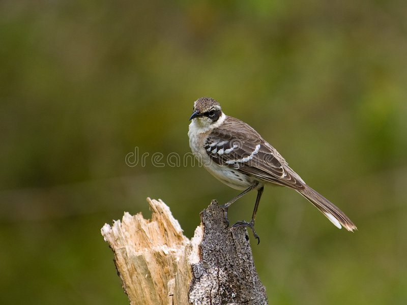 Galapagos Mockingbird stock images