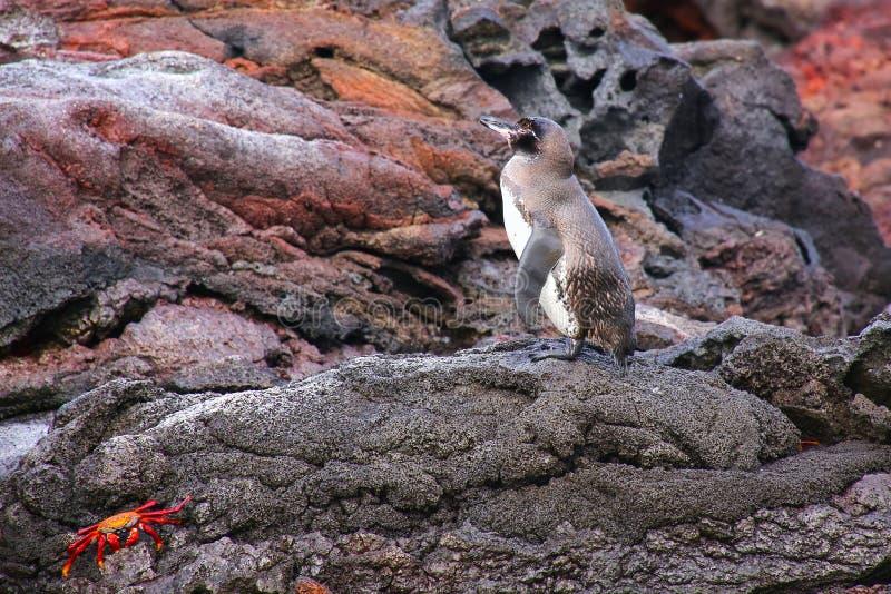 Galapagos Penguin που στέκονται στους βράχους, νησί Bartolome, Galapagos στοκ εικόνα