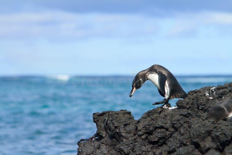 Galapagos penguin having fun walking on the rocks