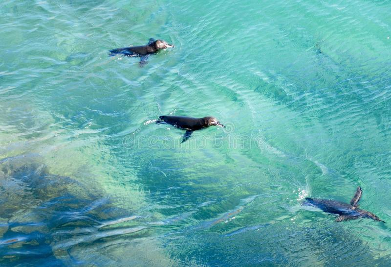 Galapagos pingwiny przy Bartolome fotografia stock