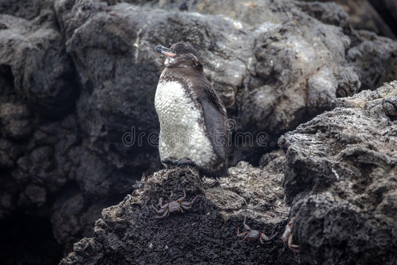 Galapagos pingwiny stoi na skale, Isabela (Spheniscus mendiculus) zdjęcia royalty free