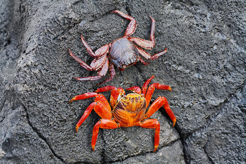 Galapagos red rock crabs. In San Cristobal island, Galapagos Islands, Ecuador stock image