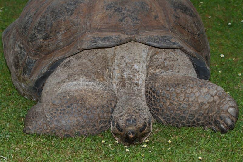 Galapagos-Riesenschildkröte auf Gras lizenzfreie stockfotografie