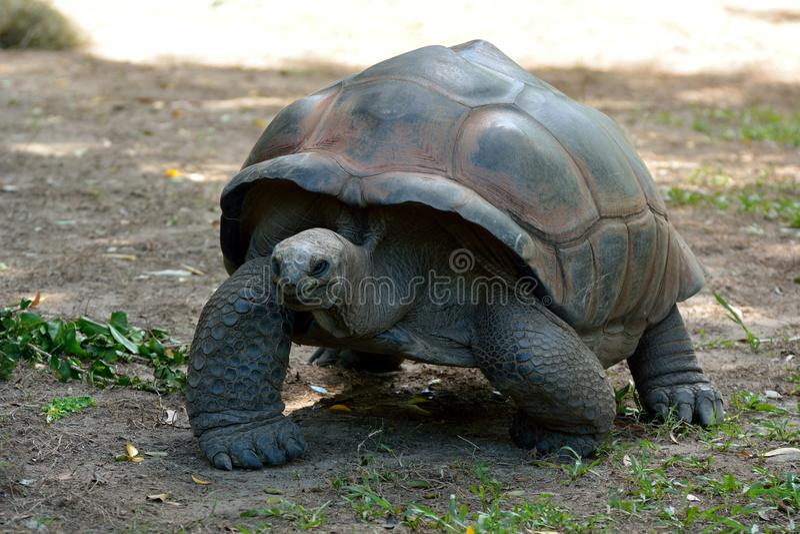 Galapagos-Riesenschildkröte Chelonoidis-Nigra stockbilder