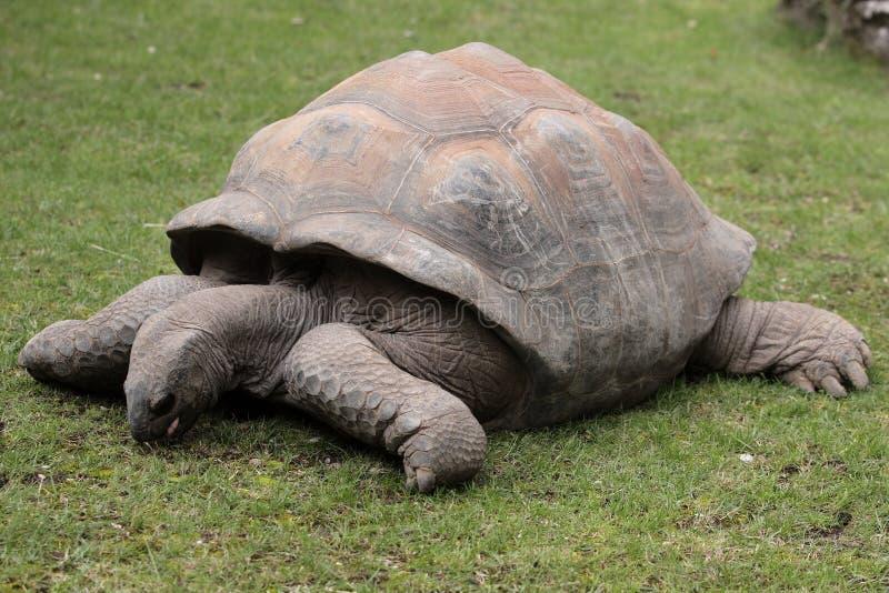 Galapagos-riesige Schildkröte lizenzfreie stockfotos