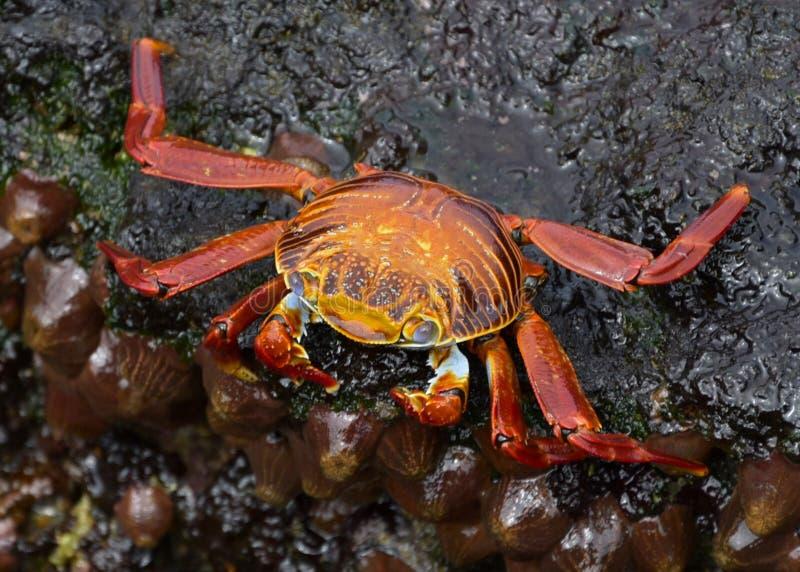 Galapagos-Rotkrabbe lizenzfreies stockfoto