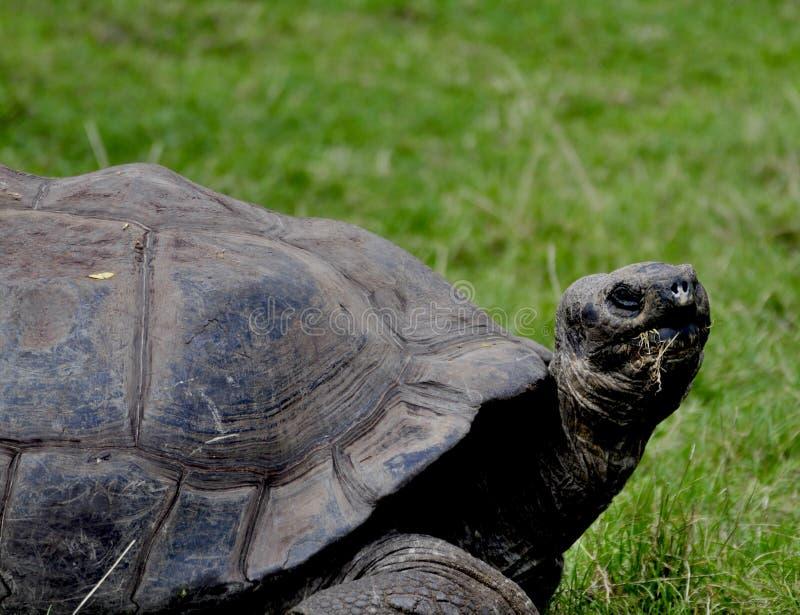 Galapagos-Schildkröte stockbild