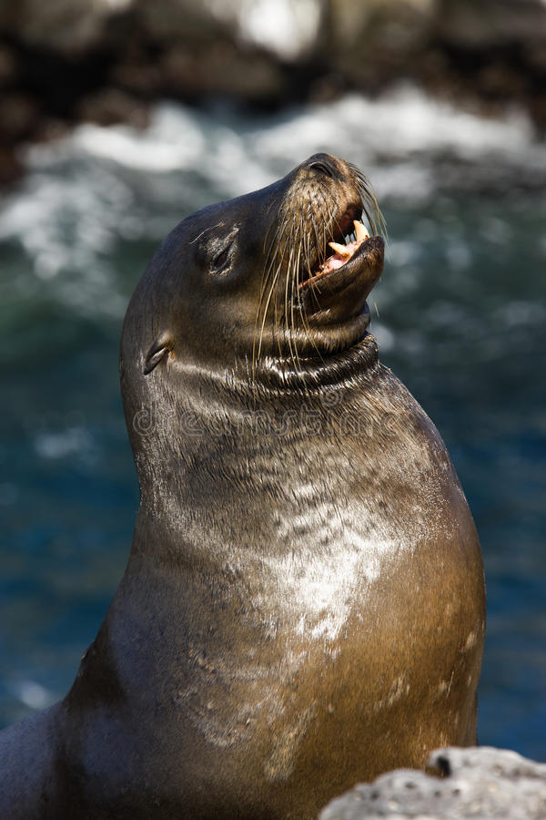 Download Galapagos Sea Lion stock photo. Image of wildlife, wild - 10794368