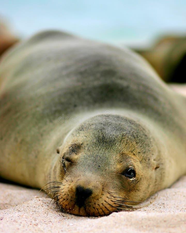 Galapagos Sea-lion. Taking a nap stock photos