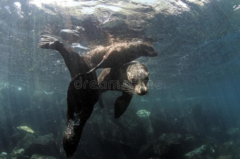 Galapagos sea lion family underwater royalty free stock photography