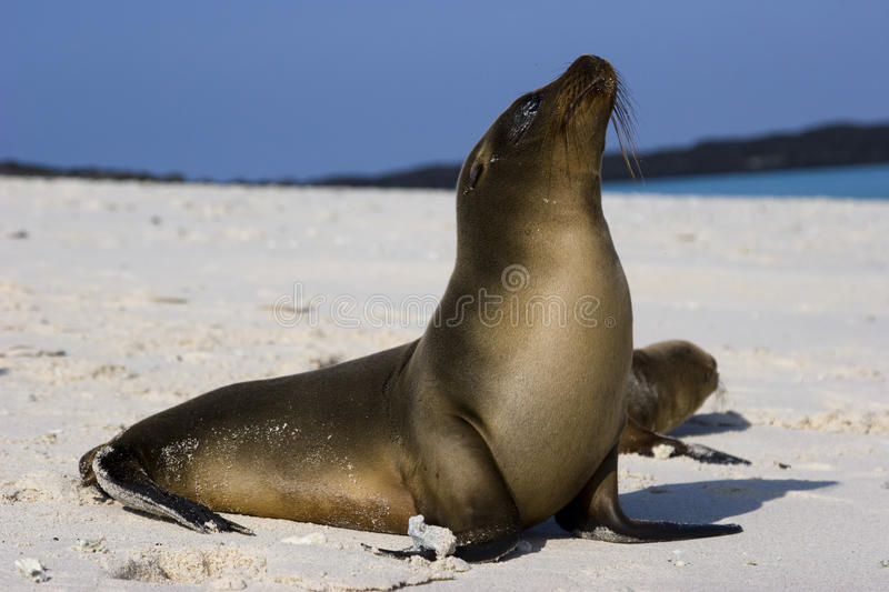 Galapagos sea lion royalty free stock images