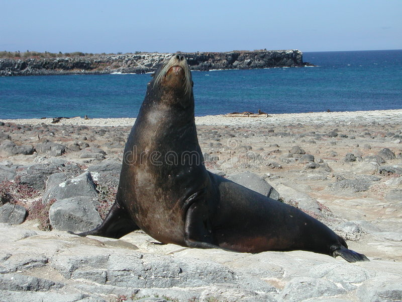 A Galapagos Sealion royalty free stock photo