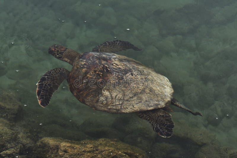 Galapagos seaturtle zdjęcie stock