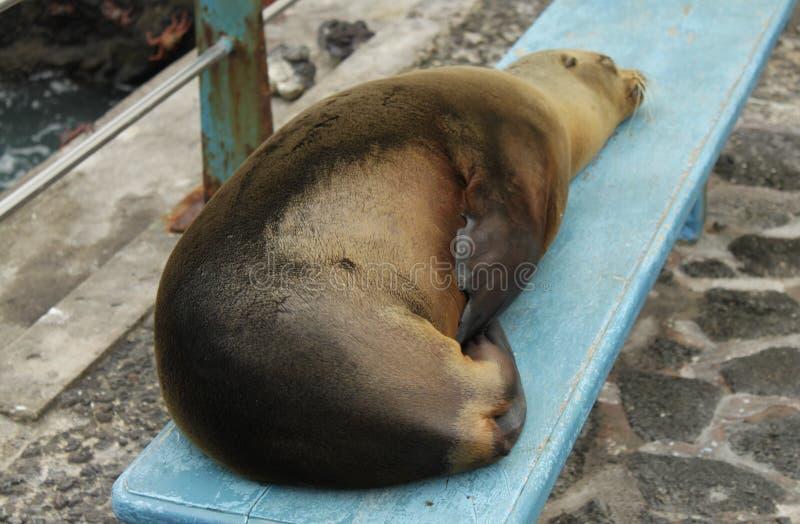 Galapagos-Seelöwe, der auf einer Bank schläft stockfotos