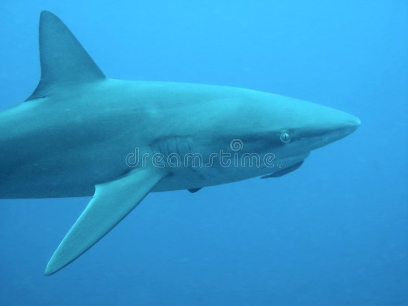 Download Galapagos Shark Closeup stock photo. Image of watched - 8915184