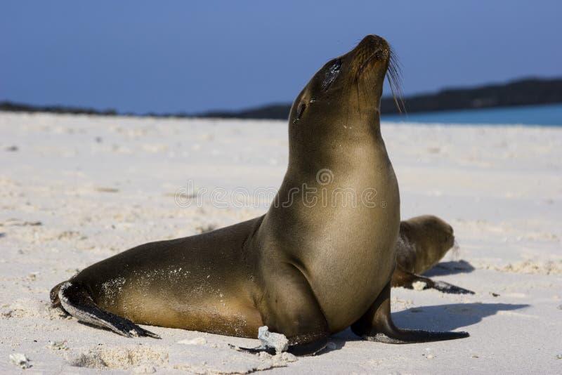 Galapagos sjölejon royaltyfria bilder