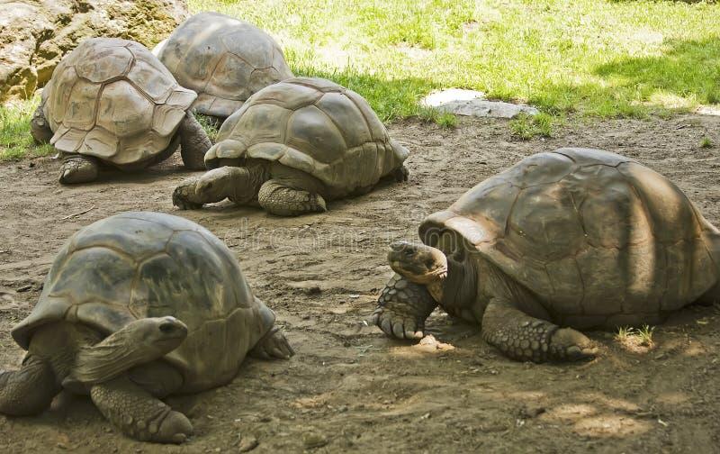 galapagos sköldpaddor royaltyfria bilder