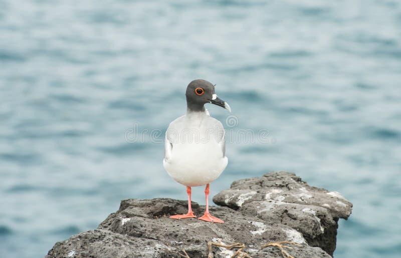 Galapagos Sorso-ha munito il gabbiano di coda su una scogliera rocciosa all'isola del sud della plaza immagine stock