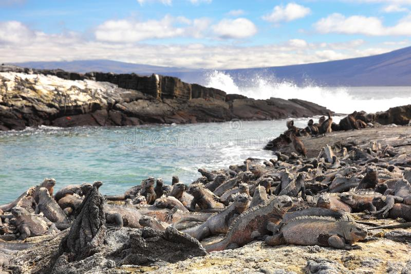 Galapagos-Tiere - Marine Iguana und flugunfähiger Kormoran auf Fernandina-Insel lizenzfreie stockbilder