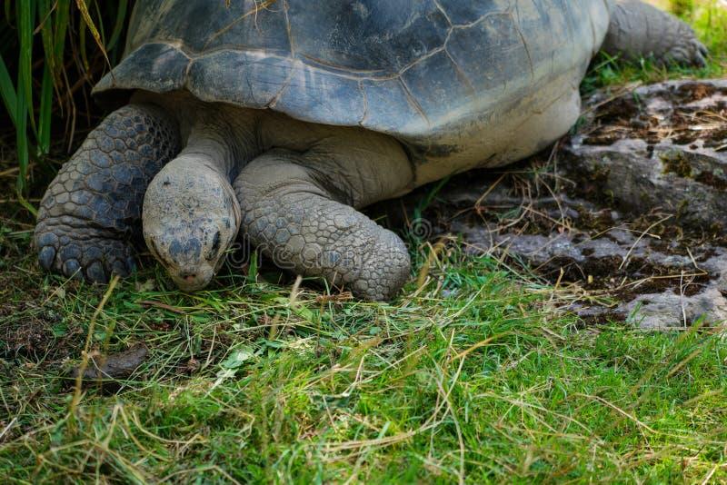 Galapagos tortoise łasowania trawa przy zoo zdjęcia royalty free