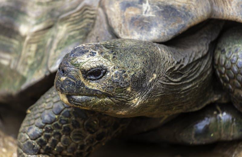 Galapagos Tortoise κινηματογράφηση σε πρώτο πλάνο στοκ φωτογραφία με δικαίωμα ελεύθερης χρήσης